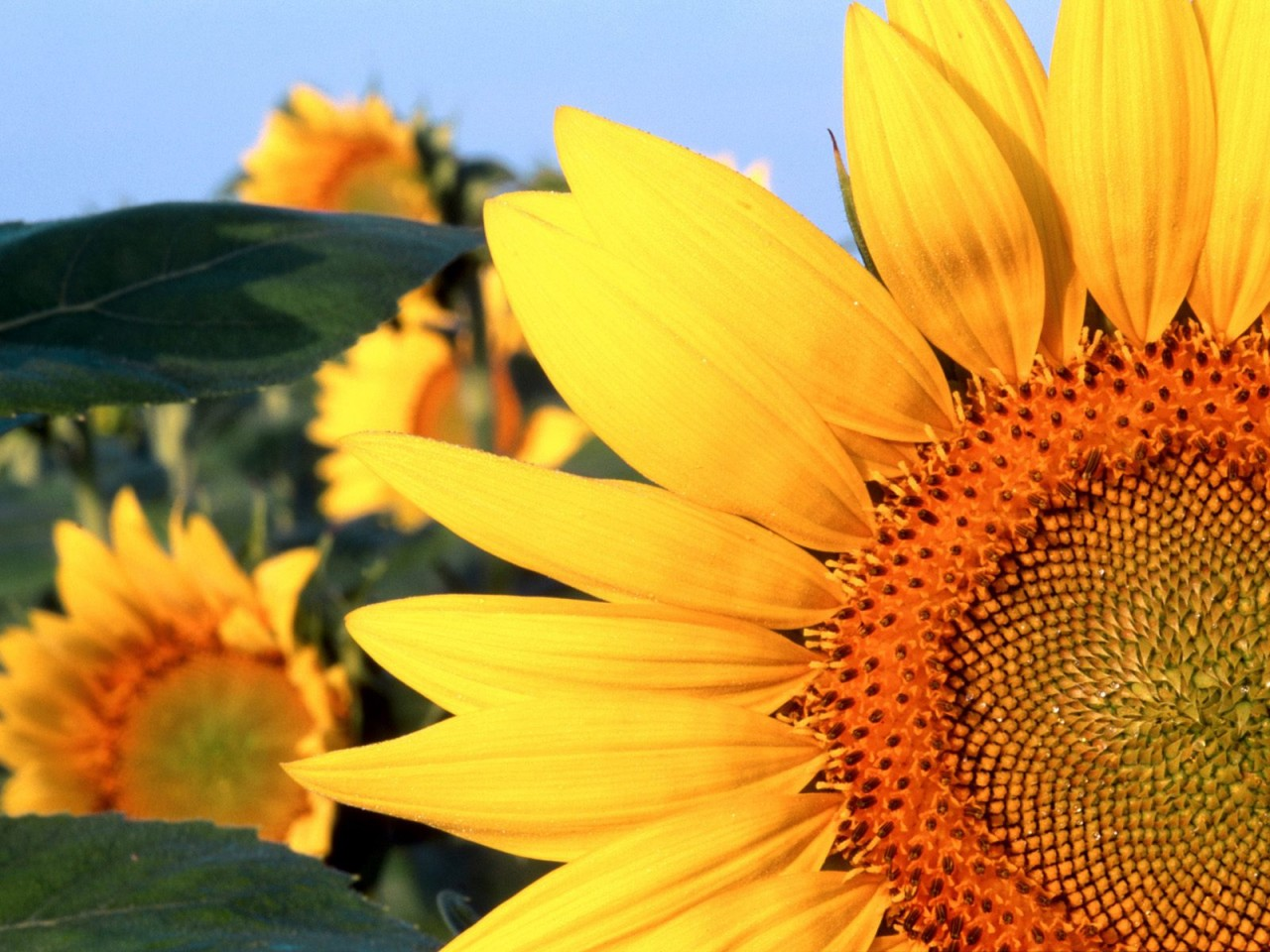 sunflowers-in-nebraska_1280x960